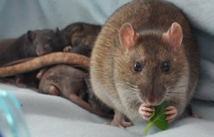 Rat diet when breeding